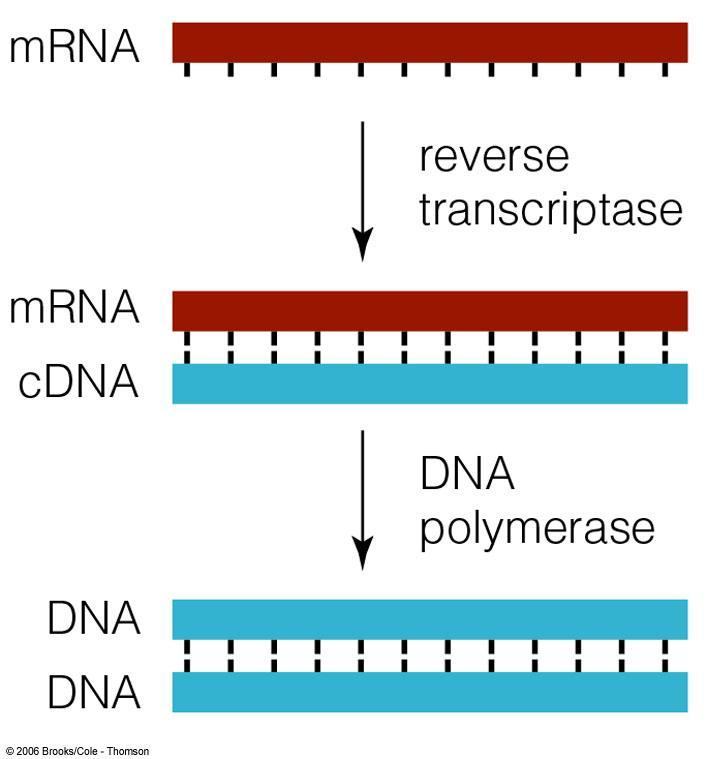 2. Another Way-- Making cdna cdna = complimentary DNA Researchers use mrna because the introns