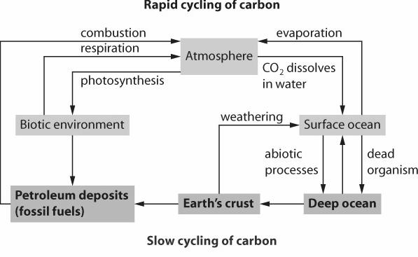 The Carbon and Oxygen Cycle The Slow Cycling of Carbon Living organisms also play an important role in the slow cycling of carbon.