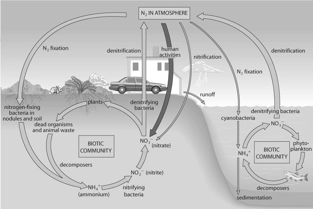 The Nitrogen Cycle (pages 48 49) The nitrogen cycle is a biogeochemical cycle that shows how nitrogen is converted into different forms as it is transported through the air, water, and soil.