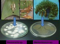 Growth inhibition by WFA033 and WFA068 of Ganoderma philippii on MEA-WP (Sitompul et al. 2011).