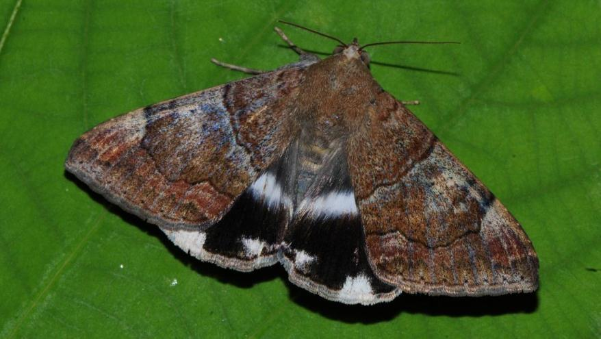 Figure 7. A newly emerged adult moth of Achaea janata. References HOLLOWAY, J.D. 2005. The moths of Borneo: family Noctuidae, subfamily Catocalinae. Malayan Nature Journal 58 (1-4): 1-529. MAU, R.F.L., KESSING, J.