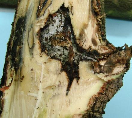 section of stem showing canker with stained wood below associated with Xylosandrus crassuisculus and distal spread, d. stained wood associated with a pruning wound.
