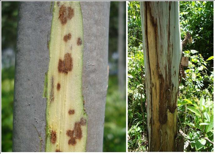 Plantations A range of diseases was observed on stems of eucalypts during surveys of plantations including measle canker disease caused by Teratosphaeria zuluensis (Fig. 3).