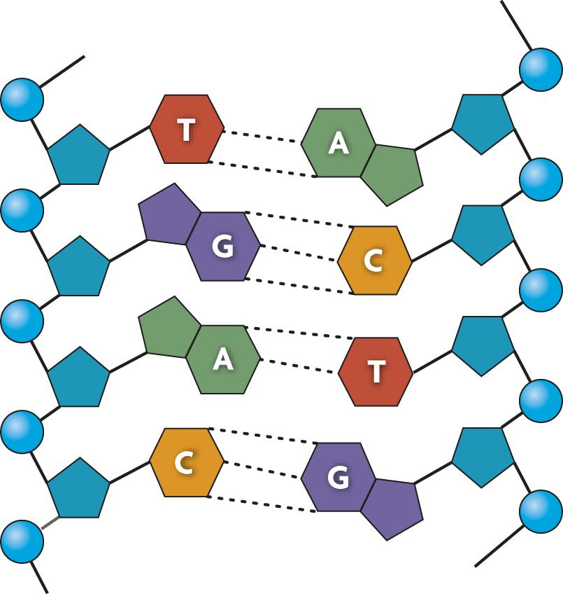 l The backbone is connected by covalent bonds.
