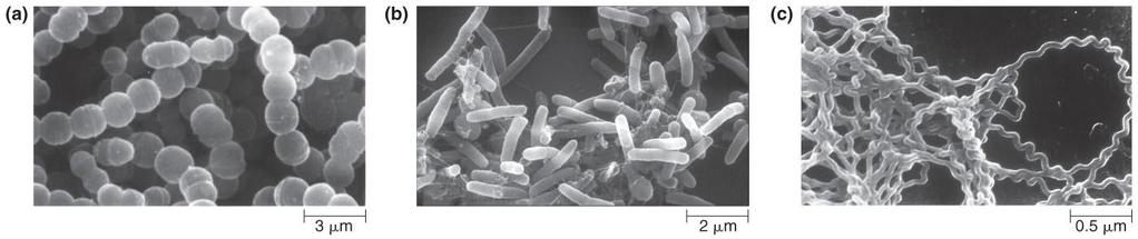 The Structure of Microbes Bacteria vary in size and shape Most common shapes