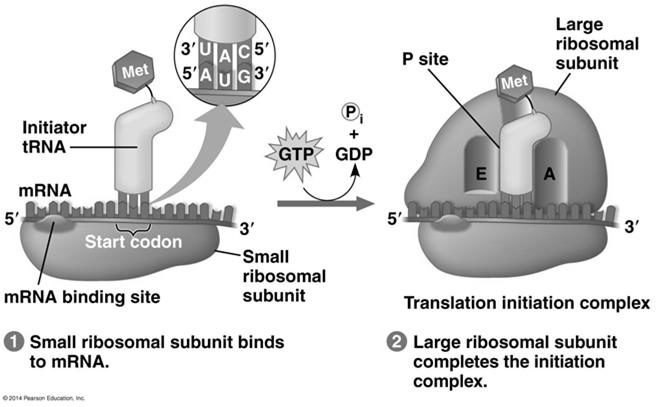 Ribosome Association and Initiation of Translation The initiation stage of translation brings together mrna, trna bearing the first amino acid of the polypeptide, and