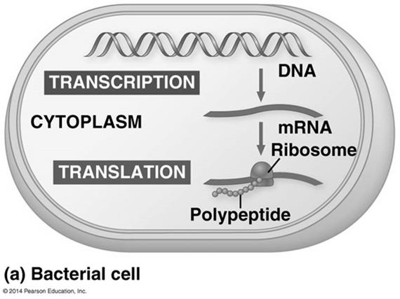 Basic Principles of Transcription and Translation Transcription is the synthesis of RNA under the direction of DNA and produces messenger RNA (mrna) Translation is the
