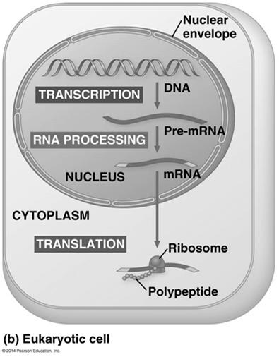Cells are governed by a cellular chain of command DNA RNA protein 14 The Genetic Code How many bases correspond to an amino acid?