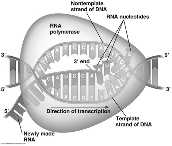 double helix, exposing about 10 to 20 DNA bases