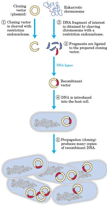 Overview cloning bacteria Key steps 1. Cutting DNA at precise locations. 2. Cloning vector 3.