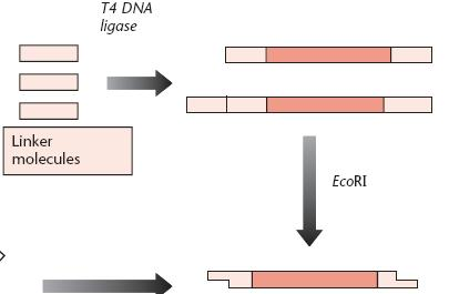 3. Joining two DNA fragments covalently DNA Ligase DNA ligase,much more efficient with sticky ends, for blunt end not efficient.