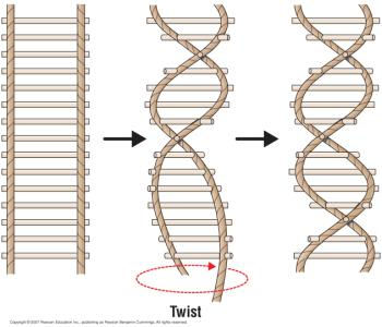 DNA structure a double helix Replication: copying DNA strands The model of a double helix a rope