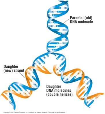 Each rung stands for a pair of bases connected by hydrogen bonds DNA Replication When a cell divides,