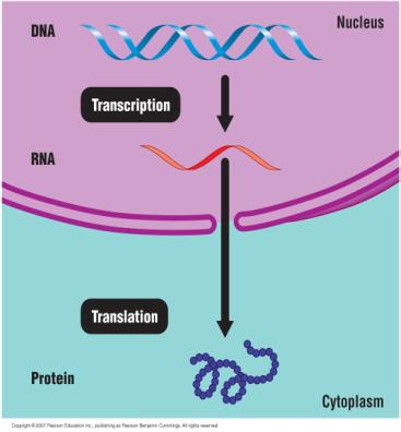 DNA carries the directions for an organism. How are these directions carried out?