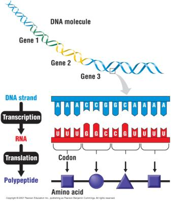 information DNA RNA Protein The RNA travels to the cytoplasm where it directs the