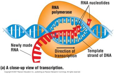 Transcription: From DNA to RNA Transcription DNA RNA. An RNA molecule is copied from a DNA template.