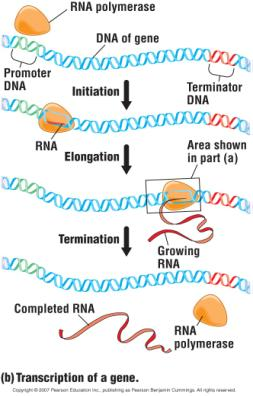 RNA polymerase (orange blob) Transcription of a gene Three phases: Initiation RNA polymerase attaches to the promoter and starts synthesizing RNA