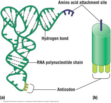 Messenger RNA (mrna) Transfer RNA (trna) mrna the copy of the DNA that codes for a protein Is the first ingredient for translation.