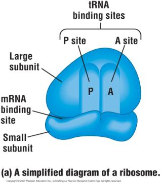 Ribosomes Fully assembled ribosome Ribosomes Are organelles that actually make the proteins.