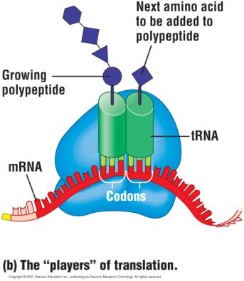 mrna. The growing polypeptide is attached to one of the trnas.