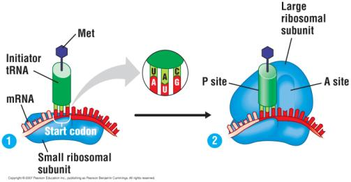 The initiation of translation 1. An mrna binds to the small ribosomal subunit. 2.