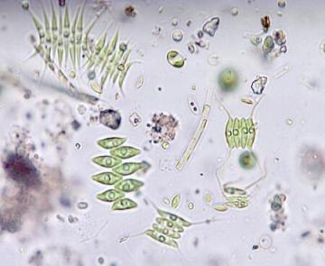 3 rd Generation Biodiesel Microalgae are able to