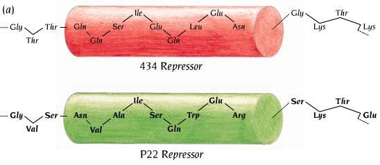 a single amino acid of repressor between 434 and P22 phage