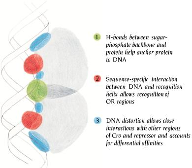 Main features of the interactions between DNA and