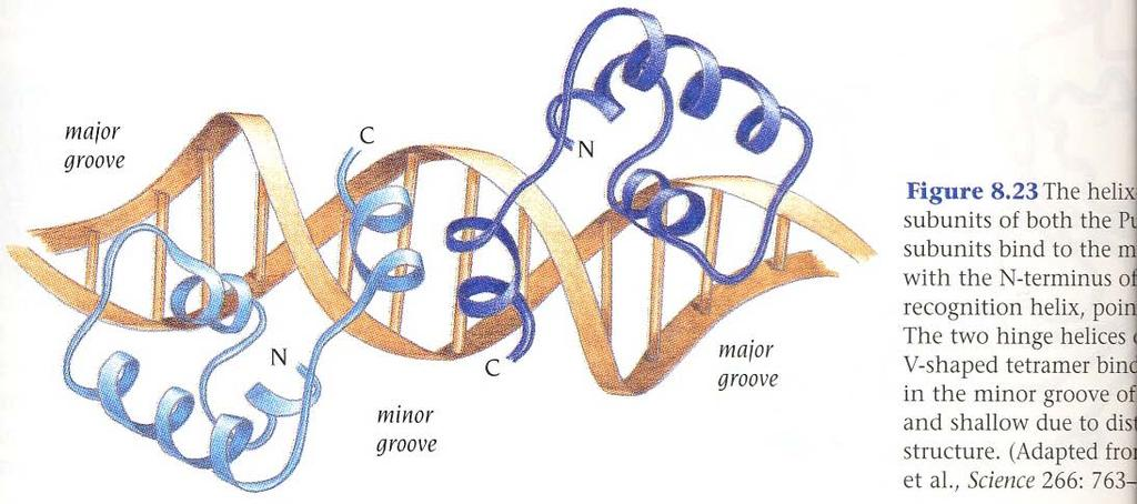 Tetrameric Lac repressor binds to both the major and the minor grooves inducing a sharp bend in the DNA - Major (HTH) & minor (hinge helix) groove binding