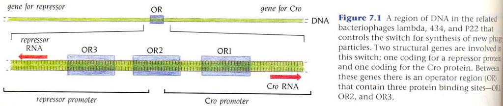 Repressor and Cro proteins operate a prokaryotic genetic