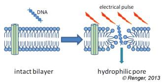 During electroporation the lipid molecules are
