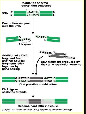 Insertion of foreign gene to the plasmid involves 2 main enzymes: 1) Restriction Enzymes[R.