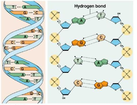 DNA The order of the nitrogen bases determines everything about every organism because it tells our cells how to make proteins. A protein is made up of amino acids.