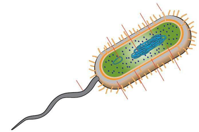 Section A: Prokaryotes Types and Structure 1. What is microbiology? 2. Compare and contrast characteristics of each bacterial type: Eubacteria and Archaebacteria. Eubacteria Both Archaebacteria 3.