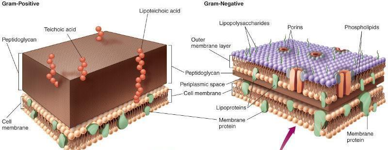 Bacteria Cell Wall Structure Gram positive bacteria have a large layer of peptidoglycan in their cell walls.