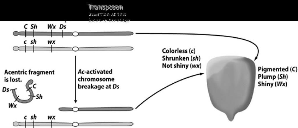 insertion of the transposable element (Ds) into a specific locus would cause the chromosome to break,