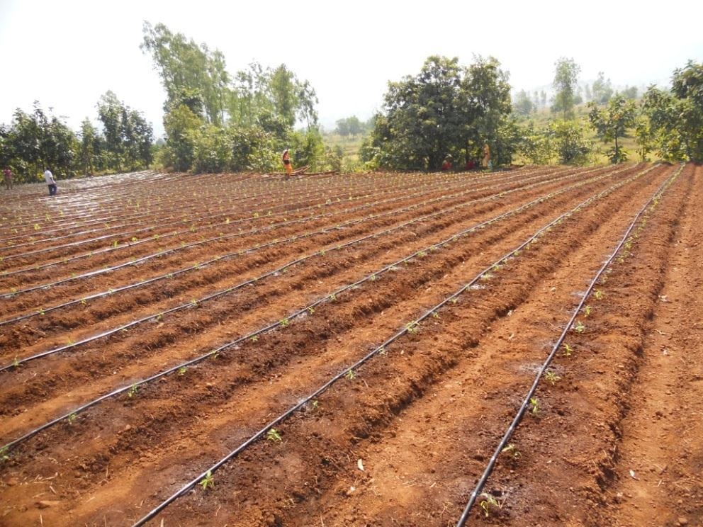 system for chilli cultivation in