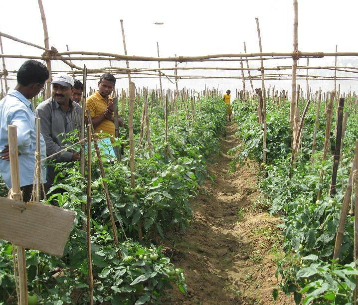 III. New skills & practices for assured farm income Hybrid Tomato Seed Production in West Bengal Small-scale trials began in 2009-10. Initial training from growers in Maharashtra.