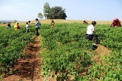 Other income enhancing ventures A) Hybrid rice seed production in Kalahandi (2012-13) Right agro-climate with irrigation.