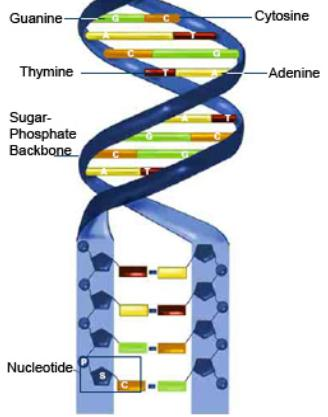 Nucleotides Nucleotide is the name given to the section of DNA that contains the phosphate, sugar and nitrogen base.