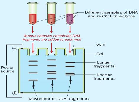 Step 3. DNA fragments are separated. The DNA is injected into wells on a sugar gel.