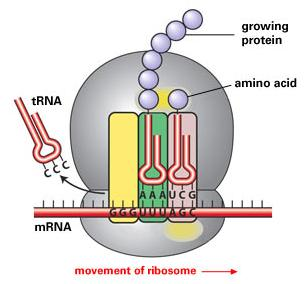 Protein Synthesis DNA has a code that makes a protein. Proteins are made in ribosomes in the cytoplasm. DNA cannot leave the cell nucleus.