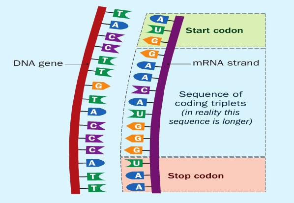 Codons The start codon tells the ribosome to start reading the code.