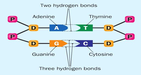 are joined by a double hydrogen bond C and G are
