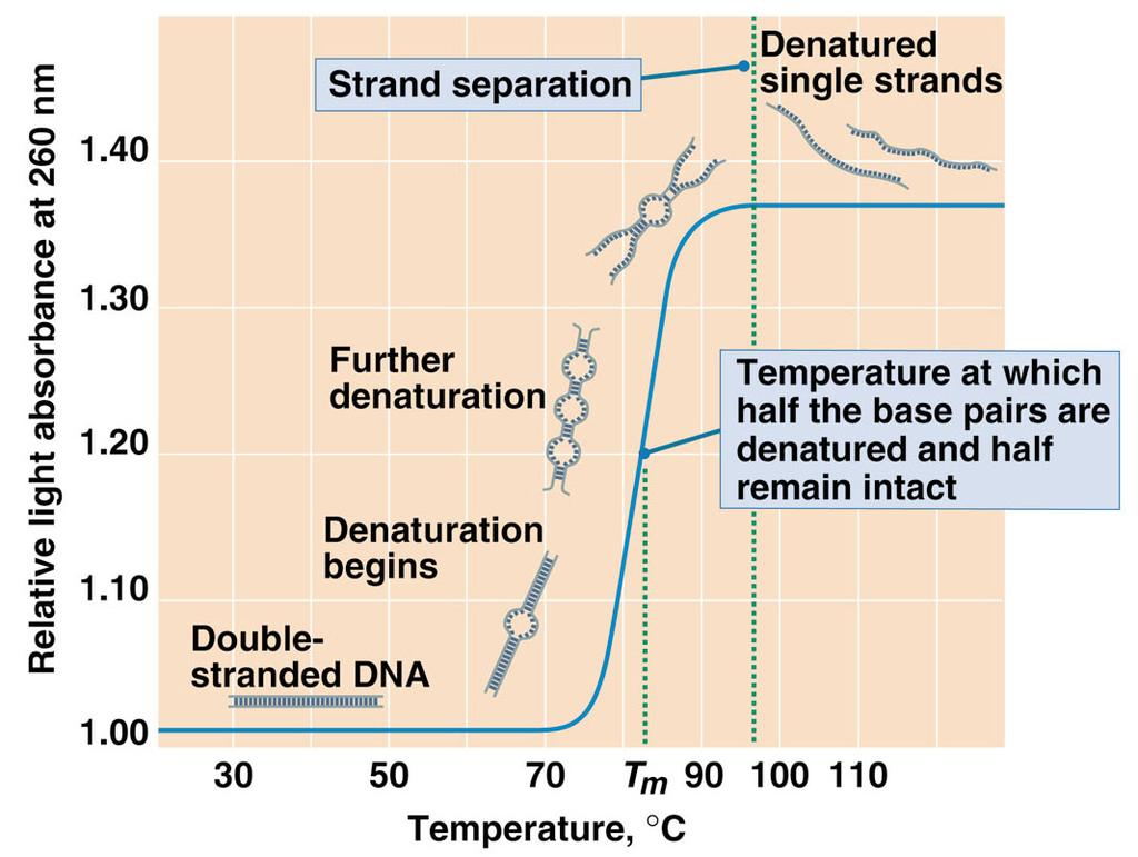 DNA Denaturation and