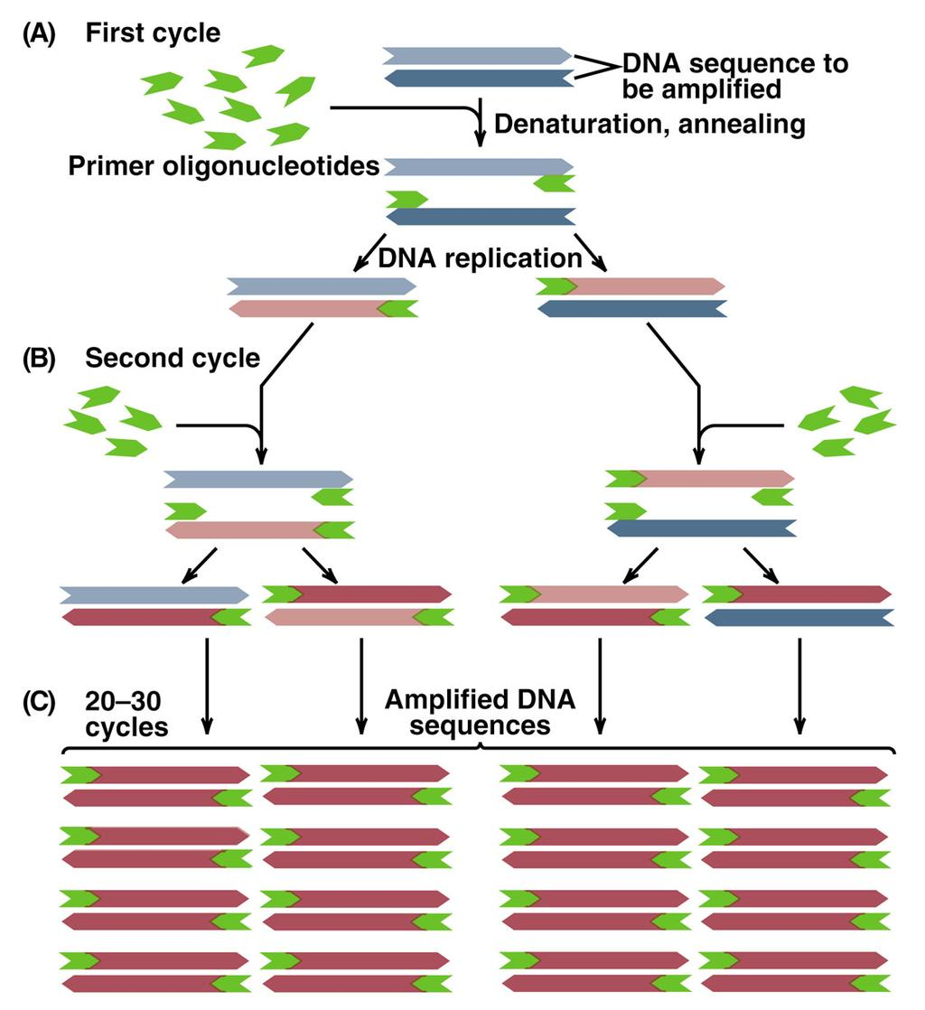 Polymerase Chain Reaction (PCR)-2 Each PCR cycle has 3 stepsa. Melting of DNA (e.g. 94 ) b.