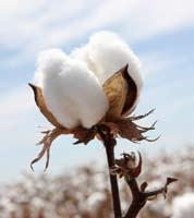 Now with more countries opening up for GM cultivation, there exists huge potential to export Cotton seeds from India.