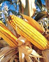The growth in maize is attributed to its increased use as livestock feed and in ethanol production.