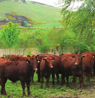 Selecting the Correct Bull Bulls are bought for a purpose and some of the questions that need to be asked by the terminal sire buyer before purchasing a new bull are; Do I need a bull to improve my