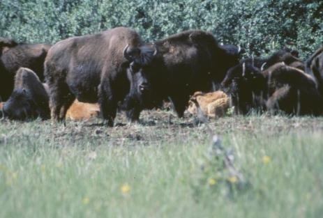 translocation of American Bison